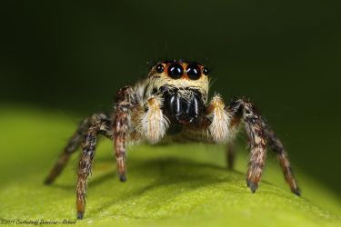 Jumping spider 3 by RichardConstantinoff