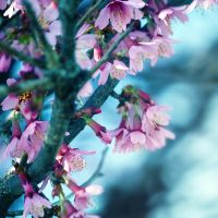 Cherry Cherry Blossom by incolor16