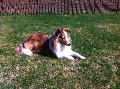 Dog Stock- Sheltie In Sun- Pennie by MichellesParanormal