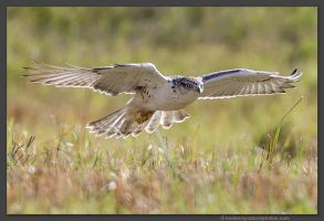 Ferruginous Hawk  Hunting by kootenayphotos