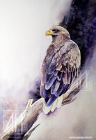 White-tailed sea-eagle by ramdens