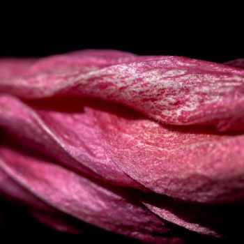 Hibiscus by crissial