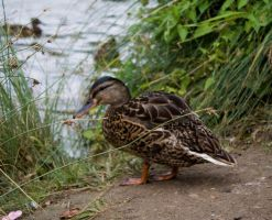 A duck by CookiemagiK