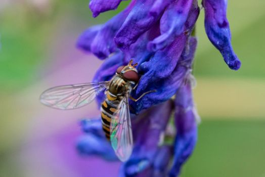 hoverfly on purple by Greencz