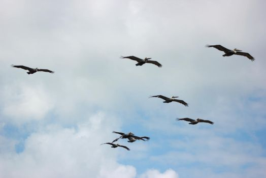 Pelicans in Flight by SilverRiverStock