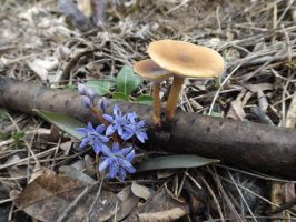 February Fungi: Polyporus brumalis and Scilla by mossagateturtle