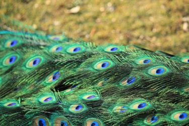 Peacock's eyes by galhypette
