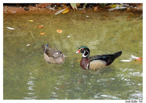 Wood Duck Couple by ringtaillemur