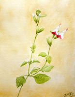 Salvia microphylla 'Hot Lips' by Chrysochroa