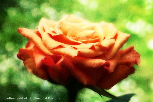 Effect on Rose by nadinedavid