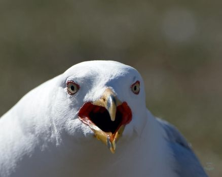 Gull-Angry Birds by JestePhotography