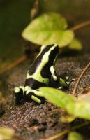 Poison Arrow Frog by RMEdwards