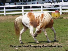 Paint Horse 5 by EquineStockImagery