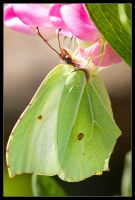 Inverted Brimstone by Wivelrod