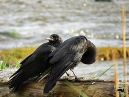 Crows At Beach Log by wolfwings1