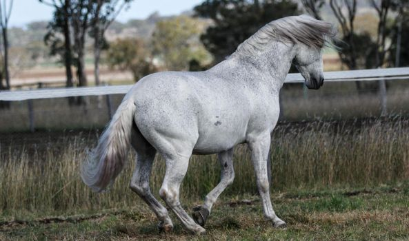 Andalusian stallion 4 by xxMysteryStockxx