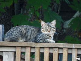 Tiger Cat On Porch by wolfwings1
