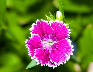 Dianthus No. 1 by slephoto