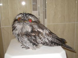 Tawny Frogmouth2 by RipJawWolfFang