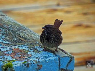 Sparrow On Old Railing by wolfwings1