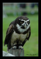 Spectacle Owl II by Rosie-the-rabbit