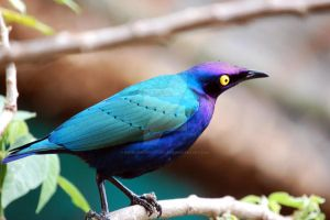 Cape Glossy Starling by katelindophotography
