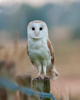 Barn owl stare by pixellence2