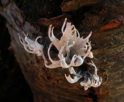 Xylaria Hypoxylon by Oniroid