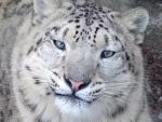 Snow Leopard Portrait by Ageira
