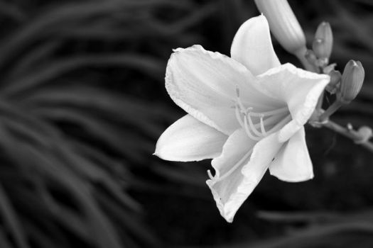BW Flower Close Up by Sooner266