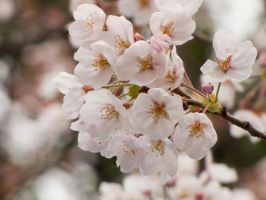 Cherry flowers 6 by FubukiNoKo