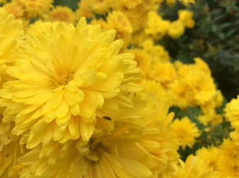 Yellow cysthanamums by 7Esther7