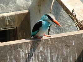 In Blue and Black- Kingfisher by roamingtigress