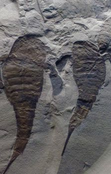 Fossil Fish Imprint by Lewna