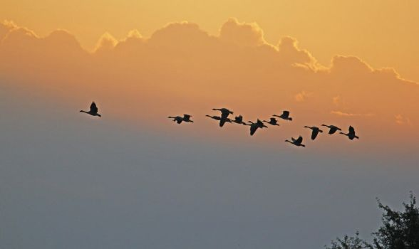 Canada Geese Grace A Sunset by Merhlin