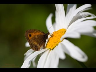 Sweet White Daisy by GMCPhotographics
