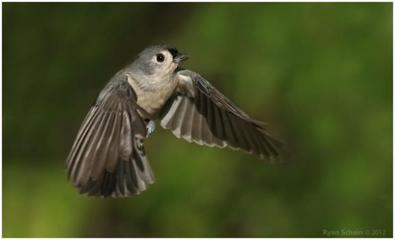 Tufted Titmouse by Ryser915