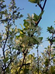 Pear flowers by Allexiiale