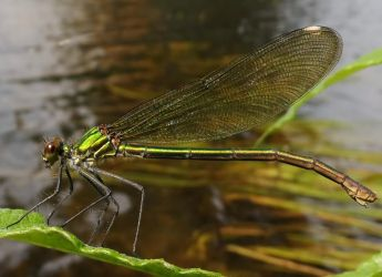 Miss Green Banded Demoiselle by Stilleschrei