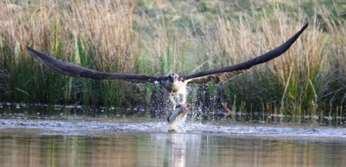 Osprey fishing by NurturingNaturesGift