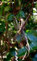 St Andrews Cross Spider II by BreeSpawn