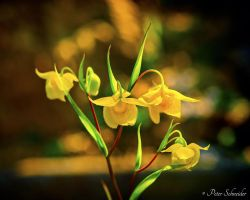Yellow beauty. by Phototubby