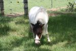 Miniature Horse Stock 3 by Marzipan-Stock