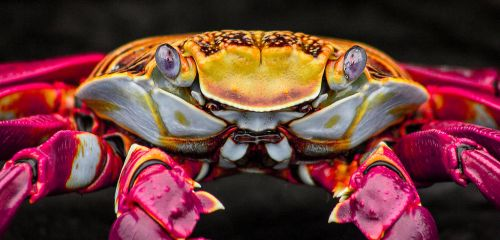 Sally Lightfoot Crab by CapitalT