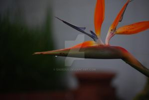 Birds of Paradise - Flower 06 by Sageous