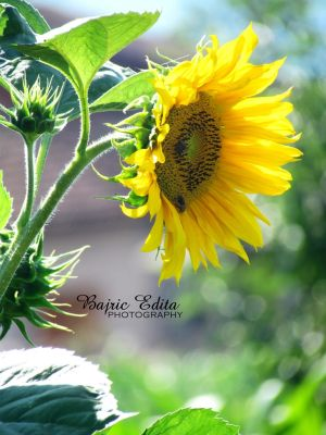 Sunflower by BajricEdita