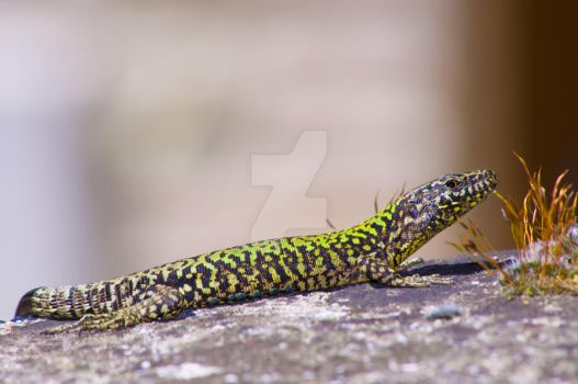 Lizard by passionefoto