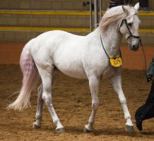 STOCK - 2014 Andalusian Nationals-130 by fillyrox