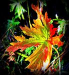 Maple Leaf Changing Colours by surrealistic-gloom