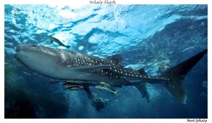 Baby whale shark by Arathrim